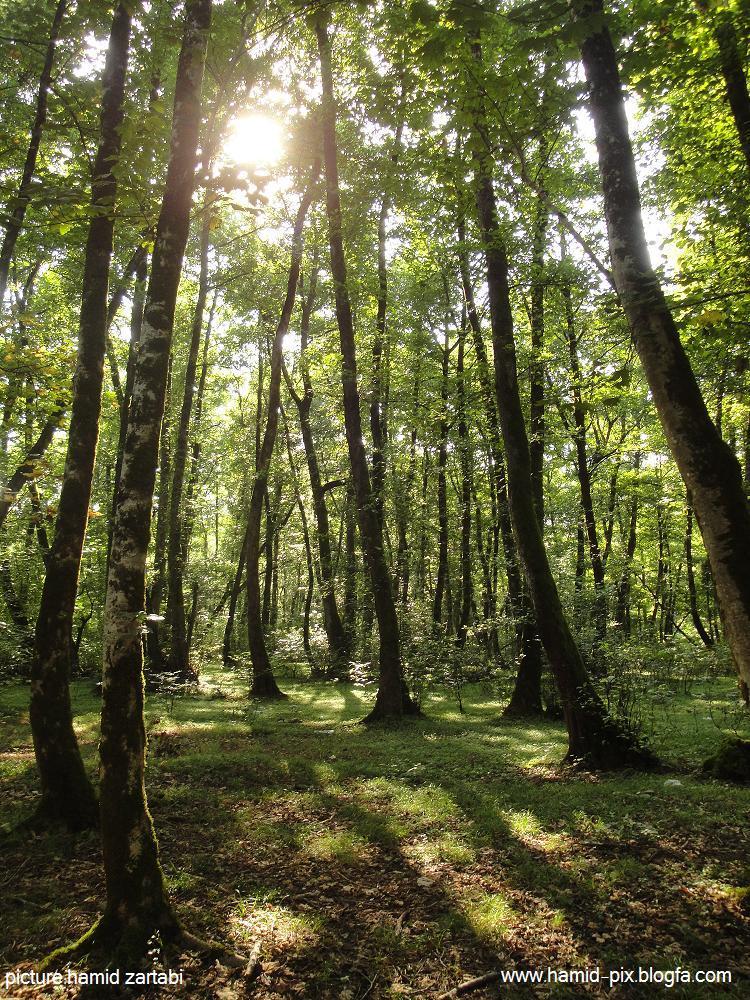 جنگل گیسو